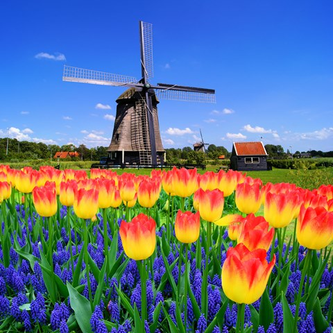 Tulpenblüte in Holland